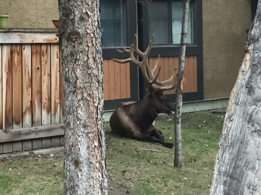 Canada honeymoon road trip, wild elk that we confused for moose but still they were cool